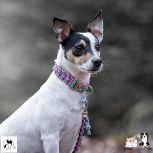 collier chien jack russell
