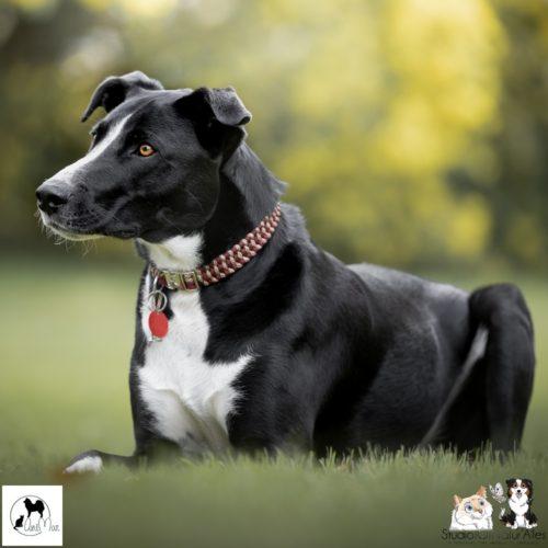 collier chien paracorde